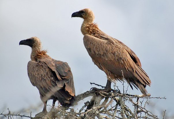 Celebrating International Vulture Awareness Day